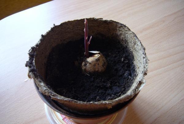 Πώς να αυξηθεί το αβοκάντο από τον σπόρο
