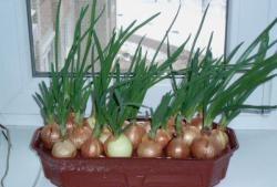 Instalare făcută acasă pentru creșterea cepei verzi - pene.