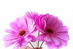 Розова фоамирана гербера
