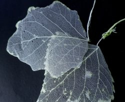 Como fazer apenas folhas esqueletizadas