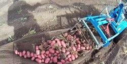 Recoltarea cartofilor cu un tractor de mers pe jos. Cum să perfecționeze un săpător de cartofi